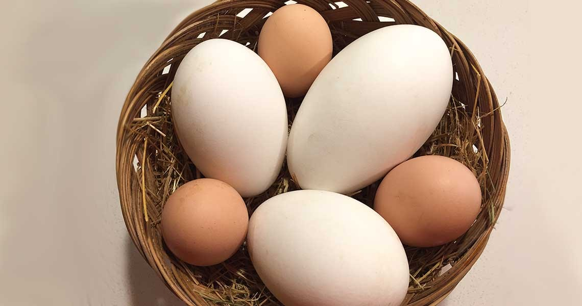 Goose and Chicken Eggs
