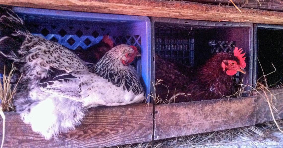 Hens Still Staying Cozy!!
