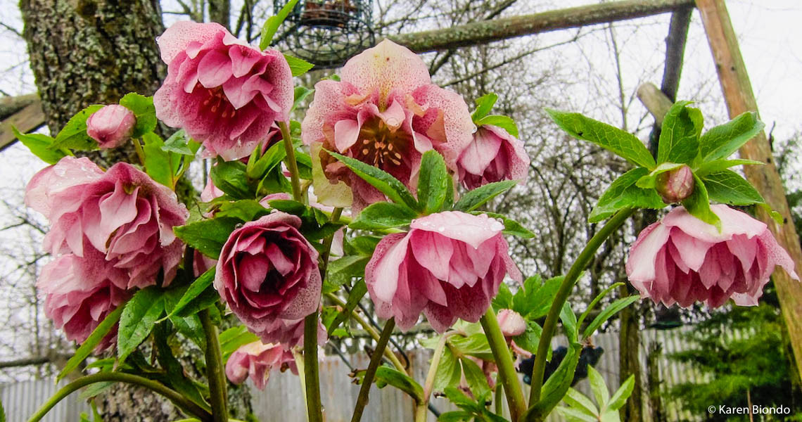 First Signs of Spring -- Hellebores