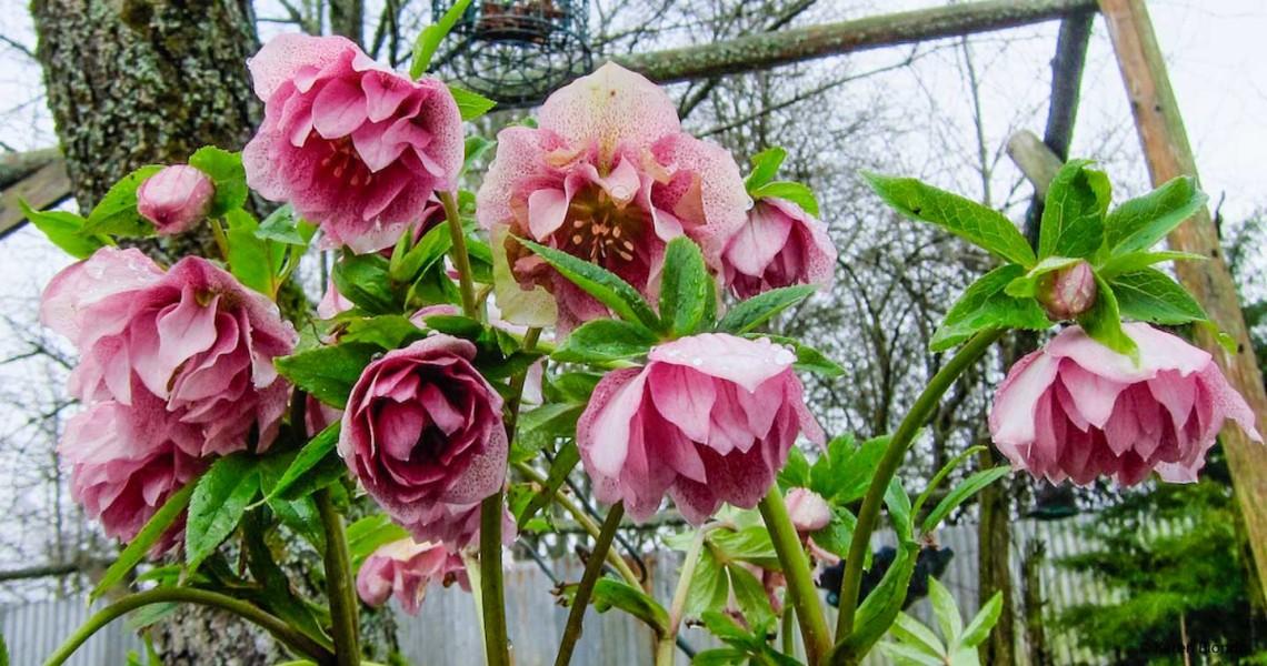 Spring Hellebores
