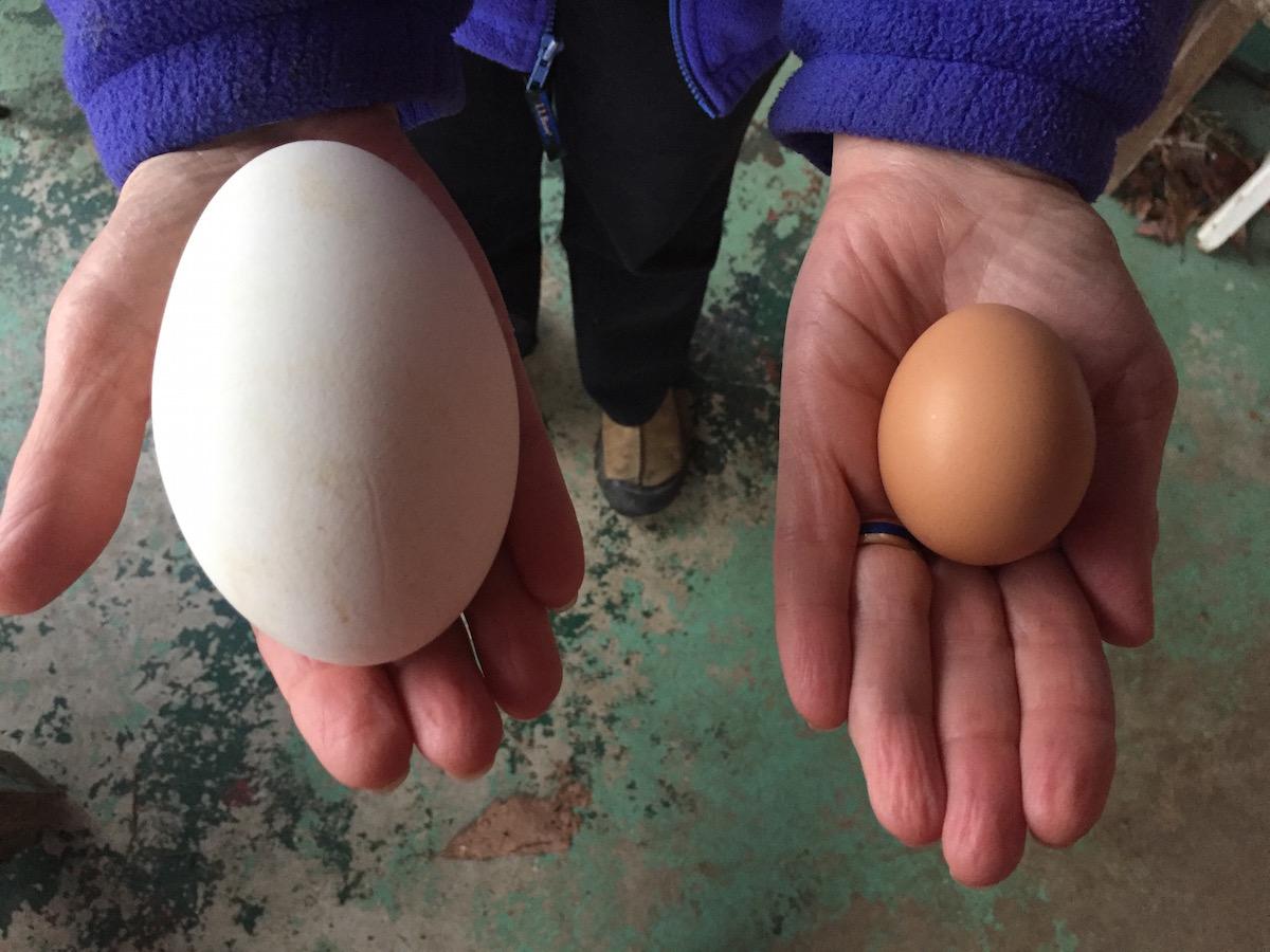 Как сделать гусиное яйцо 447