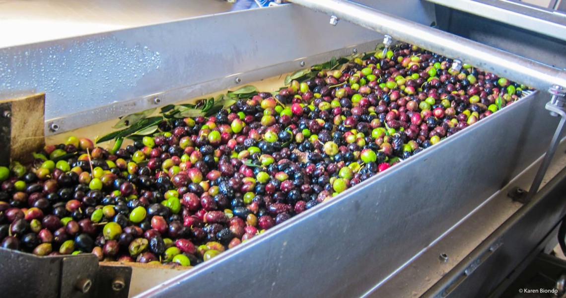 Italian Olives Ready for Processing